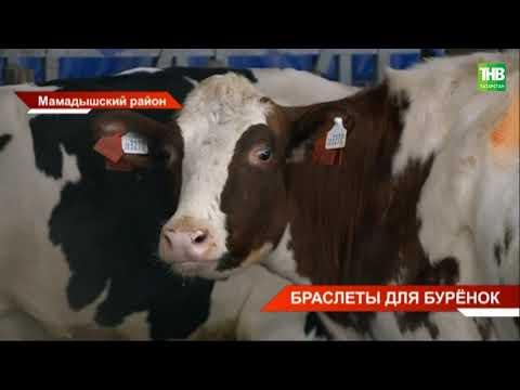 В Мамадыше коров оснастили «фитнес-браслетами»