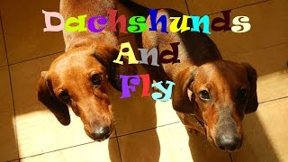 Таксы и муха | Dachshunds And Fly