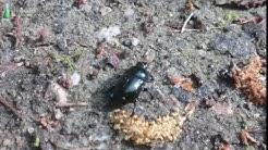 Vikkelä kovakuoriainen