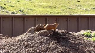 Prairie Dog (Луговая Собачка)
