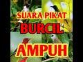 Suara Pikat Burcil Ampuh  Mp3 - Mp4 Download