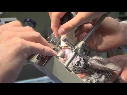 Chinchilla Dental Exam - Exotic Pet Vet Webisode