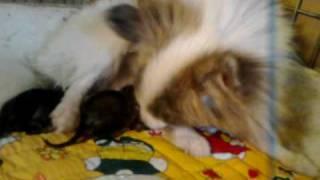 Pomeranian (parti-color) Good Mama!!!
