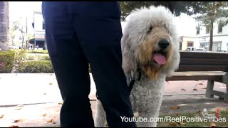 Friendliest Mixed Dog(great Dane & Poodle) Ever