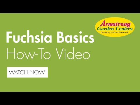 Fuchsia Basics How To - Armstrong Garden Centers