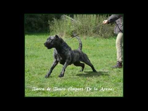 Turca de Tauco (Import de la Arena) Presa Dogo Canario AVD e.V. Working Dogs