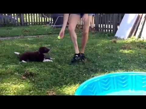 Cute Aussie Doodle Pooltime Video