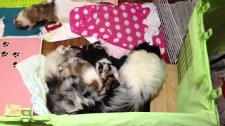 生後26日になった2013年2月27日生のラフコリーの子犬たちを俯...