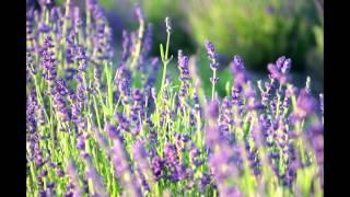 Zbiory lawendy. Herbiness na Lawendowym Lisim Polu.