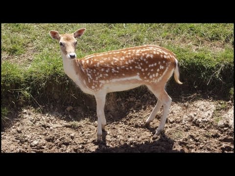 White Tailed Deer (Fallow) (Dama Dama)