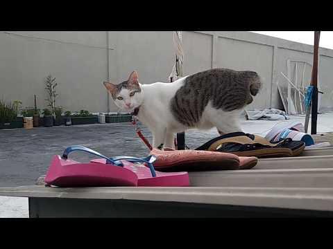 Gelagat Kucing Kampung vs kucing Liar
