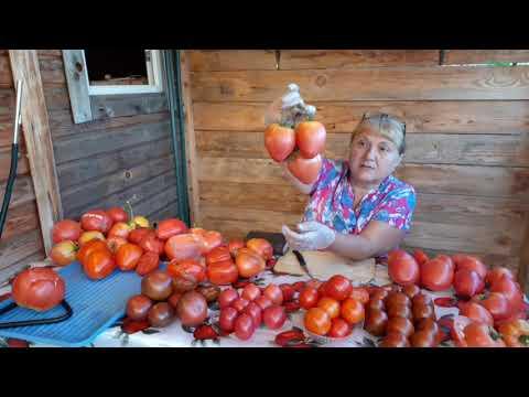 Обзор томатов 2020. 1 ЧАСТЬ!!!!Собираю семена.