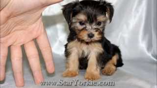 Teacup Puppies For Sale In Los Angeles By Staryorkie.com