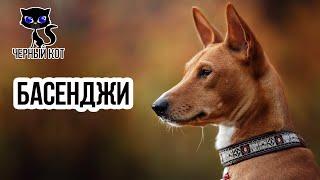 Басенджи / Интересные факты о собаках