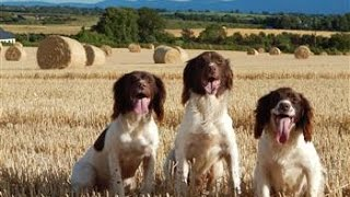 Roughshooting with Springer spaniels in Ireland 21 nov 15