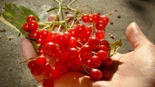 Cramp Bark | Cramp Berry | Viburnum Opulus | Cramp Bark | Chervona Kalina | Червона Калина | Ukraine