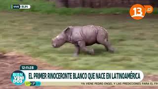 Primer rinoceronte blanco que nace en Latinoamérica   Bienvenidos