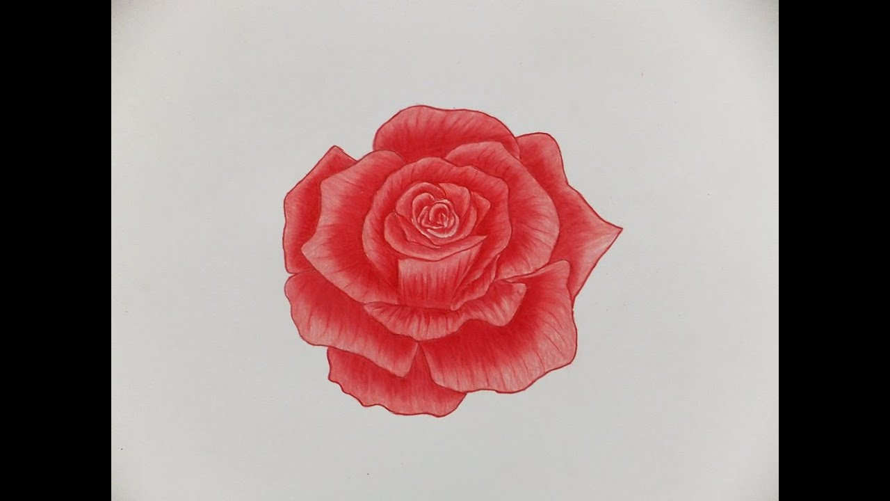 red roses drawings in color images
