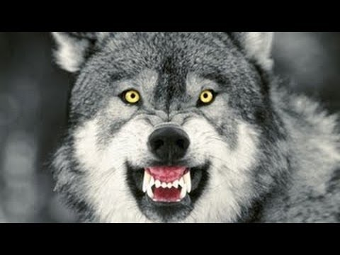 America The Wild Yellowstone Scavengers Full documentary ( Nat Geo WILD )