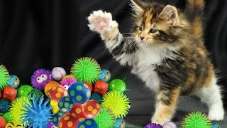 Симпатичные кошки играют в шары, с собакой  - Симпатичные кошки и котята. сборник