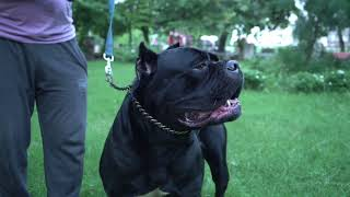 Gaurav's Kennel || Cane Corso Breed || Siberian Husky Breed || Dog Kennel || Dog Breeder | Scoobers