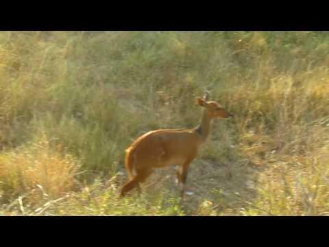 MVI 2467   Bosbokken Kruger NP