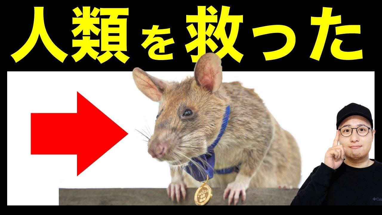 【伝説のネズミ】世界580万人を救った英雄ネズミたち(アフリカオニネズミ)