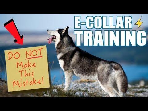 E-Collar Training Siberian Husky - (Introducing The E-Collar)