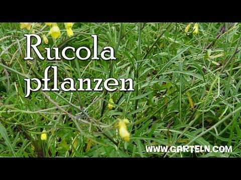 Berühmt Rucola selbst pflanzen - Tipps für die Aussaat am Balkon und im @CC_03