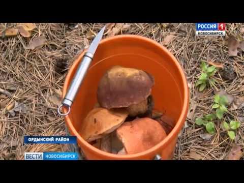 «Вести» узнали много ли выросло грибов в лесах Новосибирской области