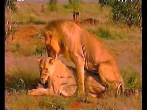 Документальный фильм Людоеды Львы Кении 2014 смотреть онлайн в хорошем качестве HD
