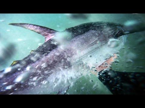 Northern Bluefin Tuna off the Rocks