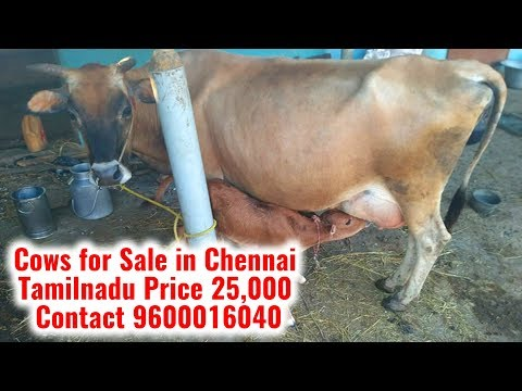 Cow for Sale|Cows for Sale in Chennai Tamilnadu Price 25,000