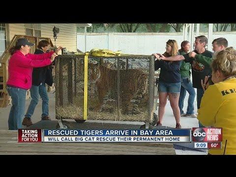 Rescued tigers arrive at Big Cat Rescue in Tampa