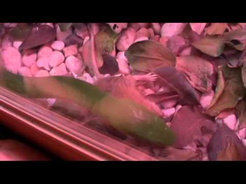Green Mamba Attack on Mice