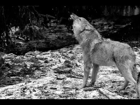 Ululato lupo DA BRIVIDI!  (IR Plus 110 gradi) - Wild Wolf Howling (Canis lupus italicus)