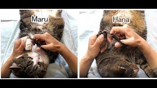 爪を切られるねこ。-Maru&Hana's nail clippers.-