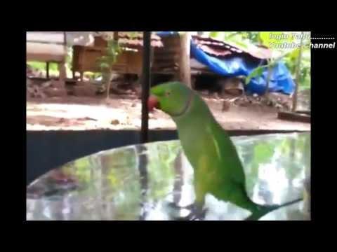 Lucu - Goyang Dumang (Versi Burung Kakak Tua) #ngakak