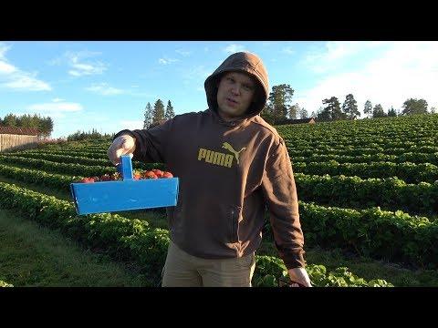 Как собирают клубнику в финляндии видео