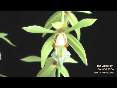 Orquidea Coelogyne Rochussenii Coelogyne Rochussenii