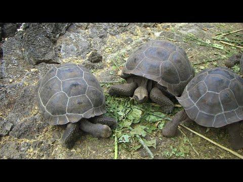 Galápagos tortoises, Charles Darwin Research Station, Santa Cruz Island, Galápagos Islands, Ecuador