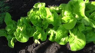 Очень хороший листовой салат МОСКОВСКИЙ ПАРНИКОВЫЙ, опыт выращивания.