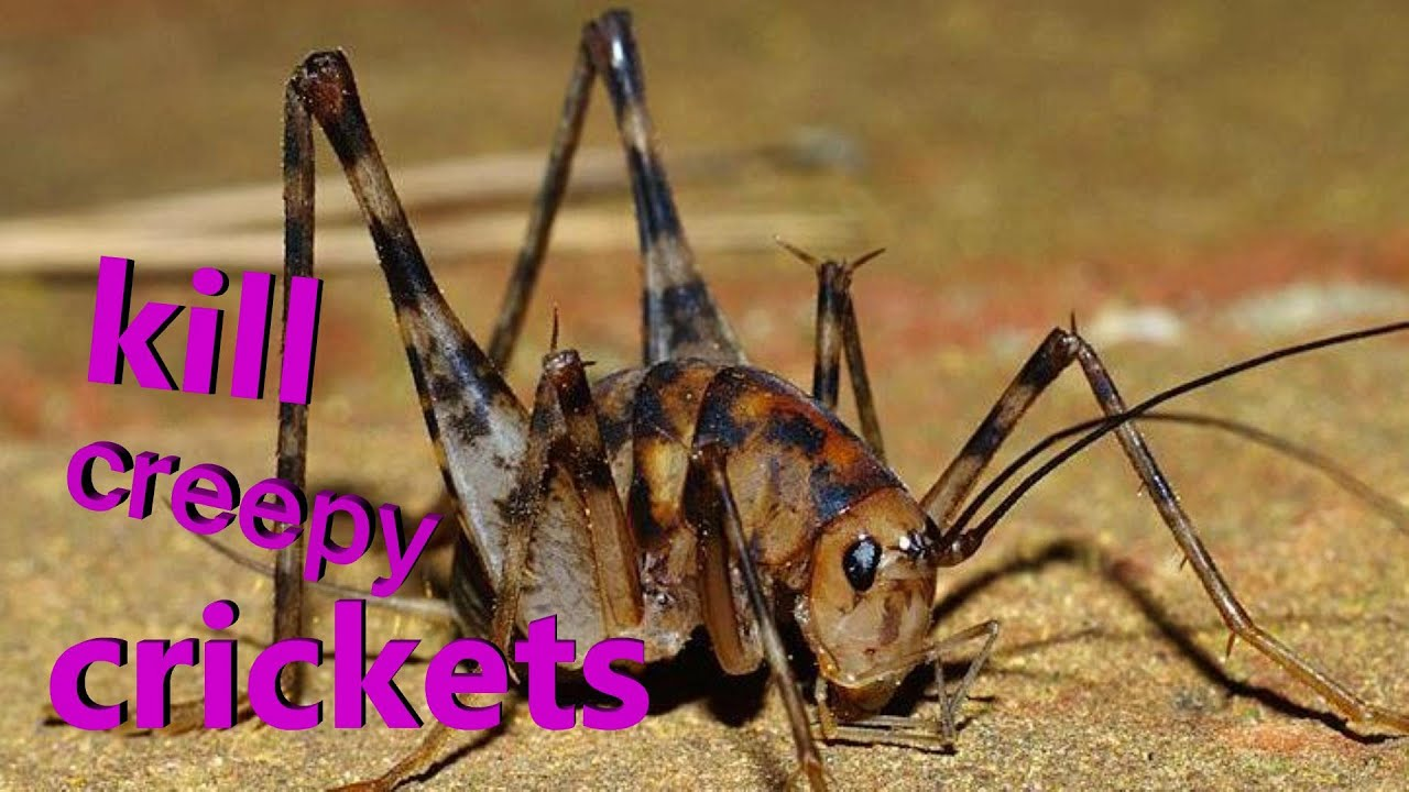 kill all crickets fast youtube rh youtube com how to get rid of spider crickets in basement how to get rid of crickets inside basement