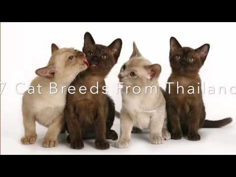 7 Cat Breeds From Thailand