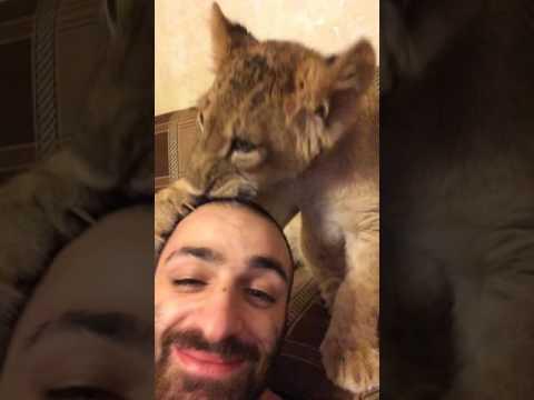 Домашний лев.  Львёнок. Львенок Легенда