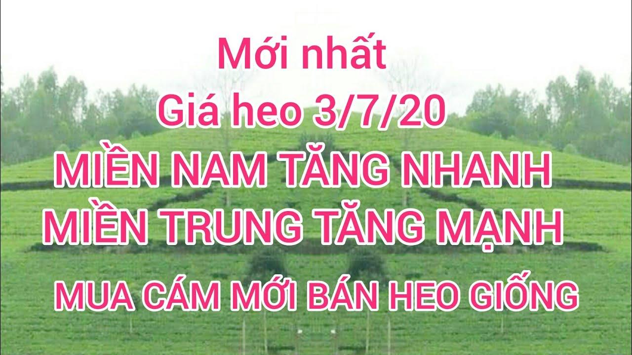 Giá heo ngày 3/7/20. Giá heo Miền Nam tăng nhanh, Miền Trung tăng mạnh   mua cám mới bán heo giống