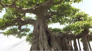Vân Vũ Quần Tùng tác phẩm không có đối thủ tại triển lãm cây cảnh Kẻ Sặt Hải Dương - super bonsai