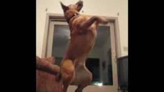 Cute German Shepherd Chow Chow Dog Tricks 2