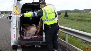 Detenido por transportar carne porcina sin las condiciones de salubridad