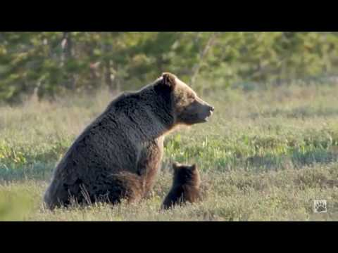 YELLOWSTONE: Having fun with the bears